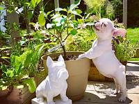 Strawsers French Bulldogs